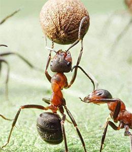 大力蚁将军(蚂蚁将军)