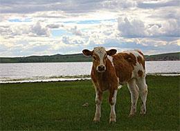 全身发亮的小牛