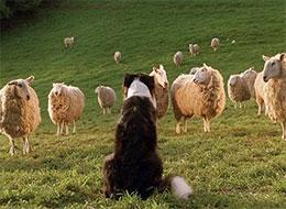 羊和牧羊犬