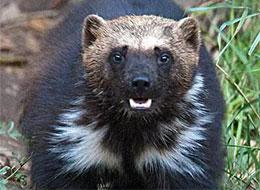 """非洲有个""""獾霸王"""""""