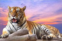 难以捉摸的老虎