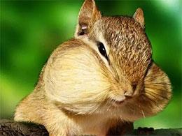 小松鼠借舌头