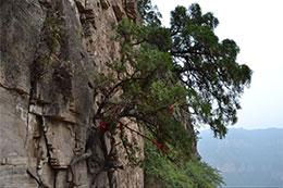 悬崖上的树