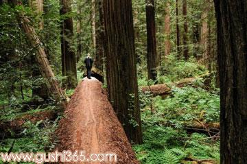 魔力红杉树