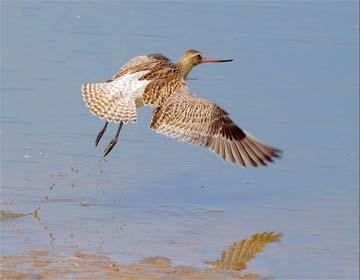 飞的最远的鸟--斑尾塍鹬