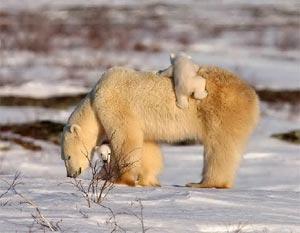 小北极熊跟着妈妈回家