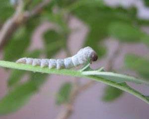 小蟋蟀和蠶寶寶