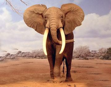 威风的大象