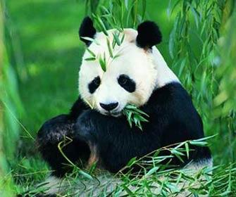 大熊猫为何只吃竹子