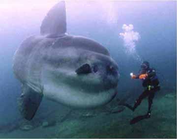 西班牙怪兽_神奇的翻车鱼 - 科学故事 - 故事365