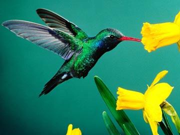 奇特的蜂鸟:世界上唯一可反向飞行鸟类