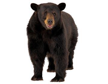 黑熊的教训