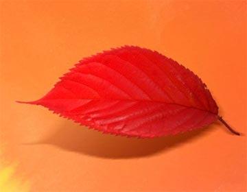 小狐貍的紅樹葉