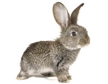 机智的灰兔