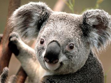 到澳大利亚看考拉