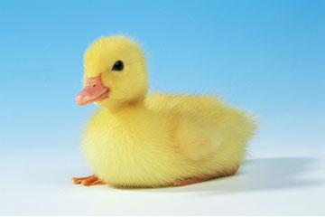 小鸭子的胜利