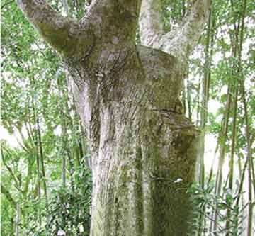 而且野生的沉香树形成需要经过几十年甚至上百年时间.
