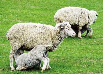 羊羔跪乳(关于母爱的故事)