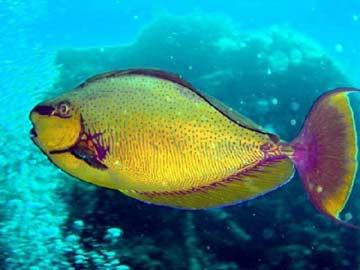 织睡衣的鹦鹉鱼