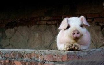 做幸福的豬